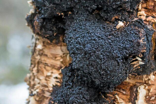 Sprängtickan inne i björken orsakar knölar på utsidan som man ganska snabbt lär sig känna igen. Knölarna ser brända ut och kan sticka ut ganska långt från stammen.