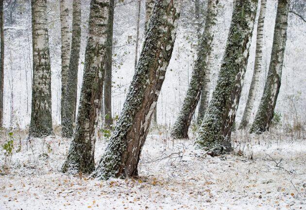 Björkar i vintertid.