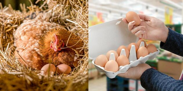 GUIDE: Det betyder äggkartongernas märkningar och så lever hönsen