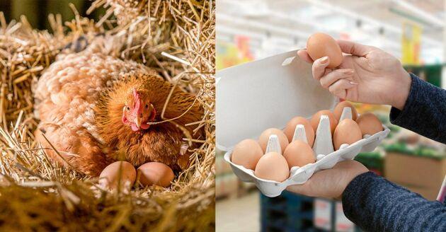 Vad betyder egentligen siffran på äggen – och märkningen på äggkartongen? Så här lever hönsen om de är frigående inomhus, frigående utomhus, burhöns eller ekologiska.