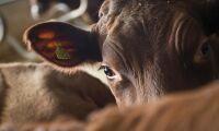 RS-virus skadar mjölkkor mest