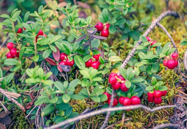 Lingon är ännu ett superbär i den nordiska skogen. Här är 6 hälsofördelar.