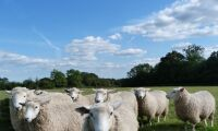 Lantbrukare hittade fårkadaver