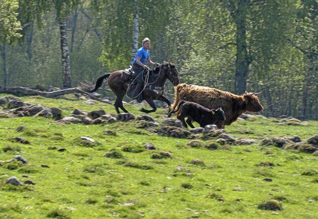 Tommy Arvidsson och Slim får jobba för att skilja kalven från dess mamma. Fotnot: Enligt Svenska Ridsportförbundet bör hjälm bäras vid uppsutten ridning och körning.
