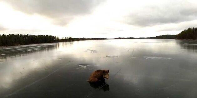 Vildsvinen har fastnat på den hala isen – då kommer deras räddning!