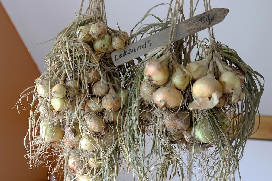 Potatislöken från Leksand hänger på tork i väntan på utplantering så snart jorden reder sig. Foto: Agneta Bergström