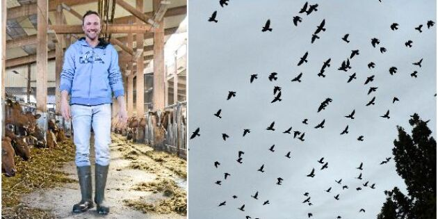 Många lantbrukare drabbade av kajinvasion
