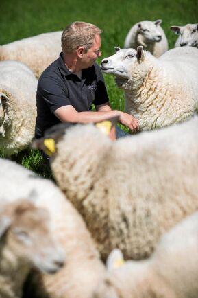 Markus Karlström, en av delägarna, pysslar om sina får och lamm på släktgården.