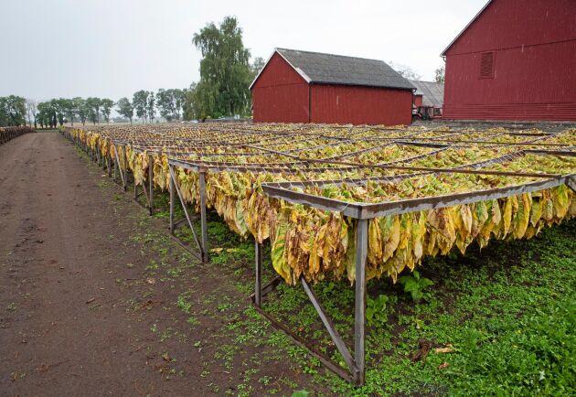 Långa rader med tobaksblad hänger åter på torkning i Fjälkinge.