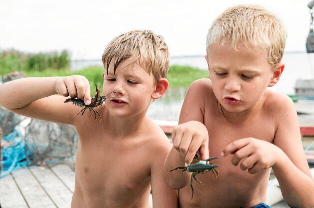 Fiskarbarnen Sebastian och Casper har självklart egna kräftburar och är vana vid att hantera de små djuren