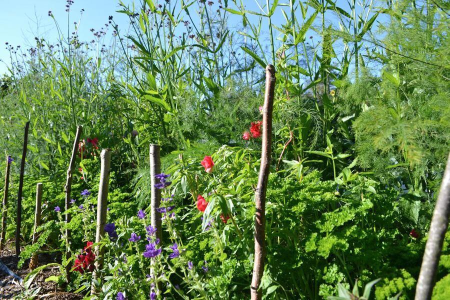 Samplantering av sparris, persilja och sommarblommor.