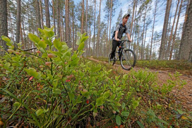 Cykling i skog och mark bedöms bli den största utmaningen för allemansrätten framöver, enligt LRF:s expert på allemansrätt.