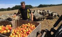 Skänker 30 ton äpplen till djurägare