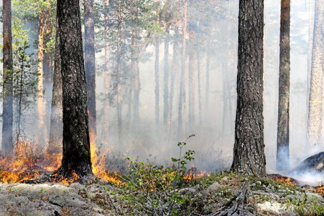 Tallen har anpassat sig och klarar bränder bättre än andra trädslag genom sin tjocka bark och höga krona.