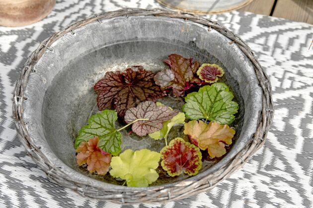 Alunrot finns i en mångfald bladfärger och mönster.
