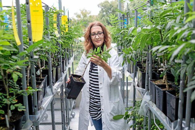 Michelle Cleary har tagit fram motståndskraftiga kloner av ask på labbet på SLU i Alnarp.