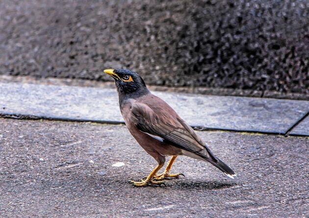 Brunmajna är en av de arterna som EU nu listar som invasiv.