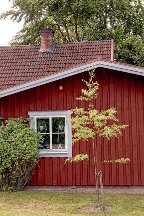 Harald har planterat en ornäsbjörk cirka två meter från ett hus för att den ska hjälpa till att torka upp en fuktig plats där det blir isigt och halt på vintern. Eftersom huset bara är en våning högt kan kronan stammas upp så att den hamnar ovanför taket när trädet blir stort. Foto: Agneta Bergström