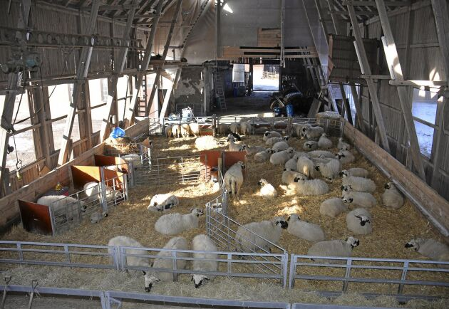 Det är fortfarande två år kvar innan någon försäljning av livdjur kan börja på Svartnösbesättningen i Ölme. Enligt Kristina Mieziewska på Jordbruksverket är det omöjligt att häva förbudet tidigare.