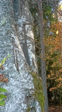 En såg invuxen hittade Janolof Mattsson, Tolbo i Uppland, i ett träd på sin fastighet.