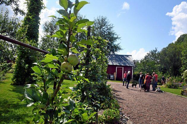 Mycket handlar om frukt i Katarina Olssons trädgård, och många var nyfikna på hennes spaljerade äppleträd.