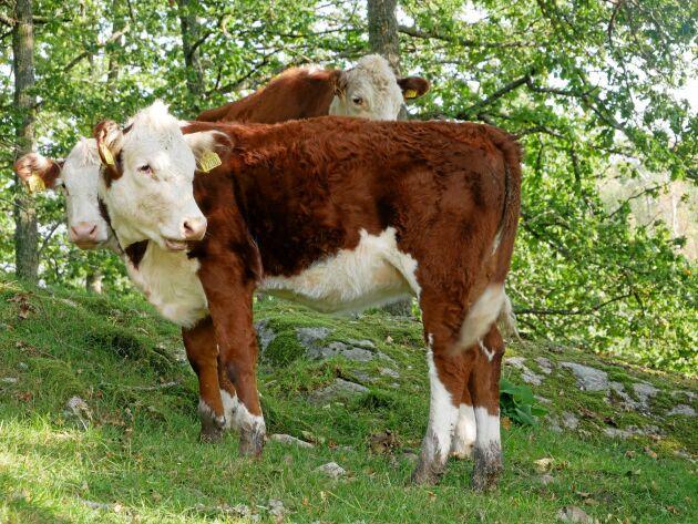 """""""Jag ser djuren som naturvårdare och korna gör både nytta ekonomiskt och för den biologiska mångfalden"""", säger Kurt Göransson."""