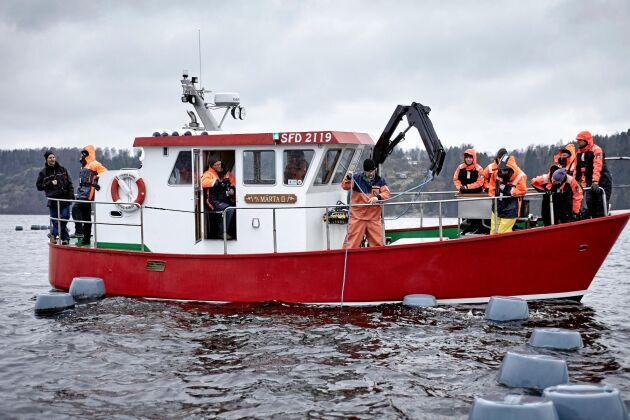 Janne med sällskap, drar upp rep från musselodlingen i fjorden utanför Ljungskile.