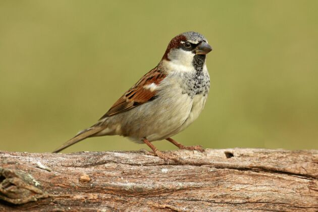Äldre än två år? Statistiskt sett inte så troligt. Men enstaka individer klarar sig år efter år och den högsta ålder som konstaterats bland svenska småfåglar gäller gråsparv.