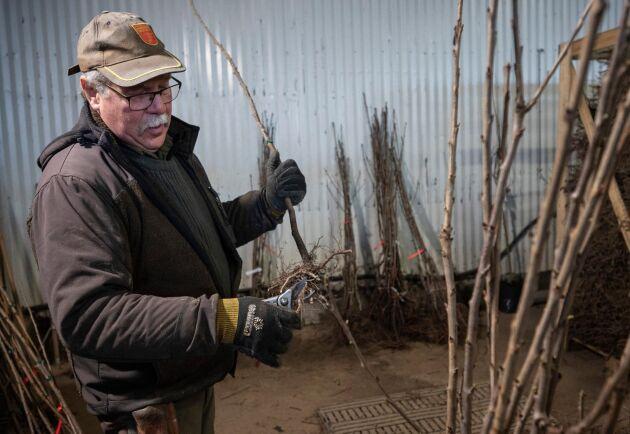 Blivande fruktträd klipps och förbereds för att kunna sättas i krukor på Plantskolan i Ängelholm.