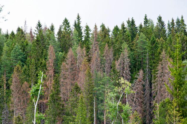 Både Örebros och Sörmlands skogar står under hårt barkborretryck efter fjolårets extremsommar.