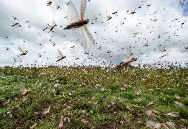 Svärmar av gräshoppor flyger över skördar i Kenya.