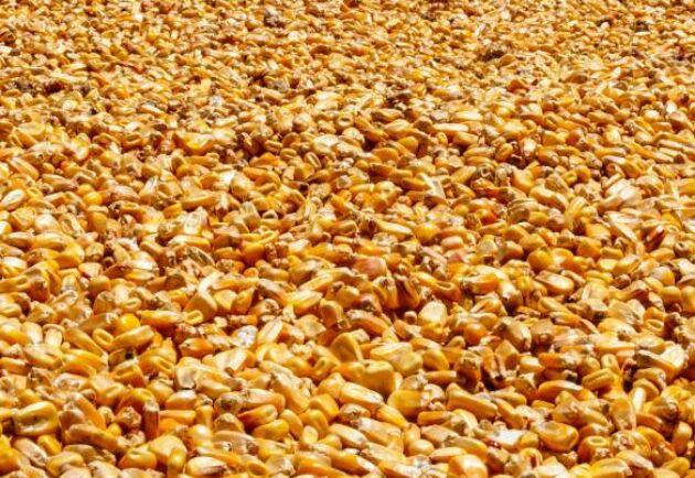 En större förväntat skörd av majs i USA fick terminspriserna att vända ner.