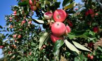 Normal äppelskörd trots onormalt väder