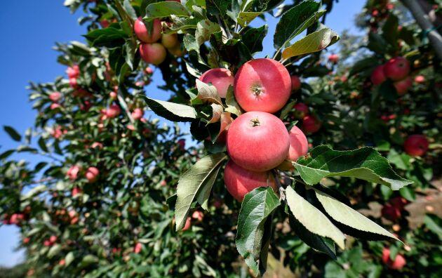 Lyckad äppelskörd 2020 – trots allt.