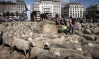 Får i protest mot varg