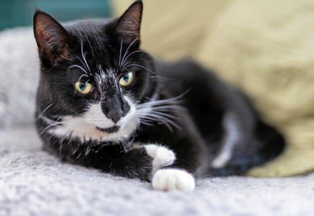 Lex Maja är den nya djurskyddslagen som ska stärka katters rätt. (Obs! Katten på bilden är inte Maja.)