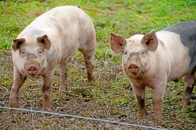 Även om inte produktionen är ekologisk kommer grisarna i Halla gårds nya stall att när som helst kunna gå ut i hagen. På vintern ska det finnas ensilagebalar.