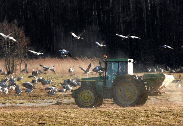 Tranorna har framför allt varit ett problem under våren, men nu har lantbrukare runt Tåkern även fått problem vid höstsådden.