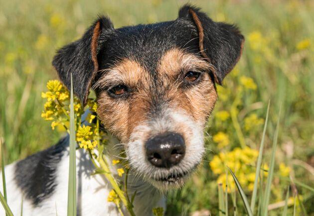 Är hunden frisk på vintern men hängig på våren? Då kan den ha drabbats av pollenallergi.