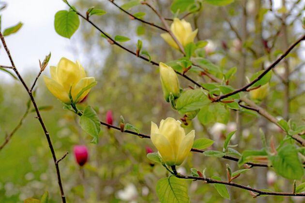 'Lois' blir som de flesta gula magnolior ett stort träd.