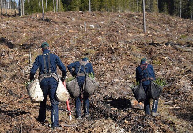 """Nu ska regeringen """"skyndsamt"""" se till att utländsk arbetskraft släpps in för att jobba som säsongsarbetare i det svenska skogsbruket."""