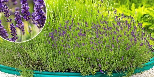 Superlätt – få mer lavendel utan att ta sticklingar