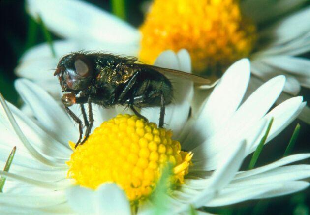 Vindsflugan mitt i maten. Hon lever på nektar från blommorna.