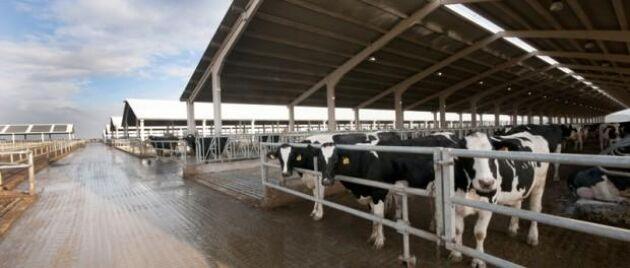 Ett spanskt mejeriföretaget planerar att bygga en gård för 20 000 kor.