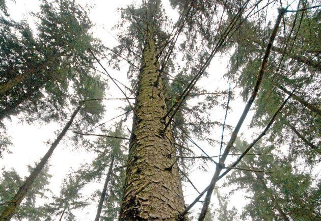 Sitkagran kan också vara ett alternativ som passar fuktiga och milda vintrar. Den trivs däremot inte på torr mark.