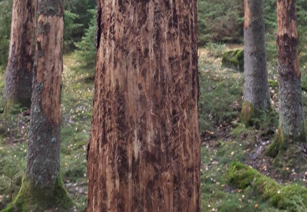 Granbarkborren har skadat träd i Götaland och Svealand. Arkivbild.
