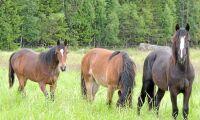 Häst på bete attackerad med jordhacka