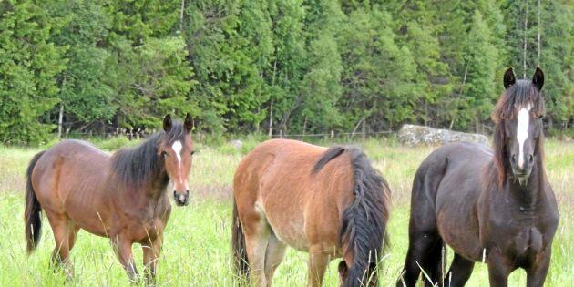 Skövde slakteris ägare startar hästslakt