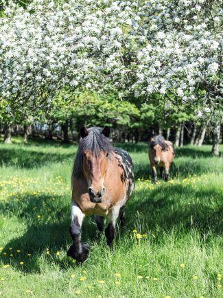 Hästarna älskar hagen där den gamla äppellunden ligger.