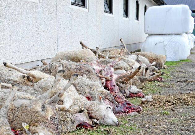 Inom loppet av drygt två dygn har vargarna fällt närmare 70 får på Molstabergs säteri utanför Gnesta.